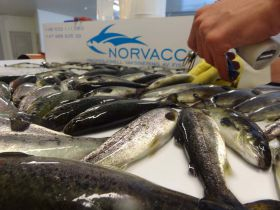 Vaccination Fish Norvacc